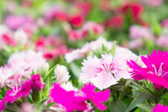 Dianthus flowers in the park , colorful flowers in the garden Royalty Free Stock Image
