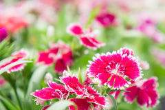 Dianthus flowers in the park , colorful flowers in the garden Stock Image