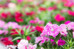 Dianthus flowers in the park , colorful flowers in the garden Royalty Free Stock Photography