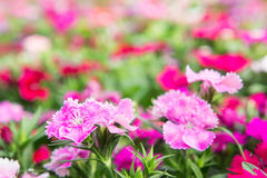 Dianthus flowers in the park , colorful flowers in the garden Stock Photography