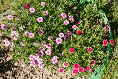Dianthus (garofano) fotografia stock