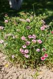 Dianthus (garofano) immagini stock