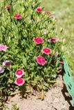 Dianthus (garofano) fotografia stock libera da diritti