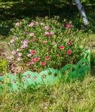 Dianthus (Gartennelke) Stockbild