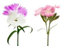 Dianthus i en vit bakgrund Fotografering för Bildbyråer