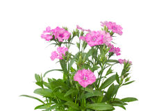 Dianthus Royalty Free Stock Photo