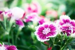 Dianthus kwitnie, stokrotka kwiaty w ogródzie zdjęcie royalty free