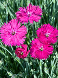 Spring Dianthus. Cluster of five magenta flowers of the Dianthus Neon Star in a spring garden against a background of grey-green stems Stock Photo