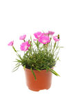 Dianthus plant in a pot. Flowering Dianthus plant in a pot isolated against white royalty free stock image