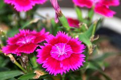 Dianthus Royalty Free Stock Photography