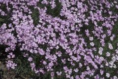Dianthus plumarius ` Duchess piszczałki ` obrazy royalty free