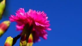 Dianthus plumarius stock footage