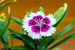 Dianthus Porcelanowych menchii chinensis kwiaty Obraz Stock