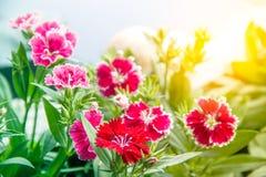 Dianthus Porcelanowych menchii chinensis kwiaty Zdjęcia Stock