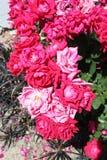 Dianthus różowi obraz royalty free
