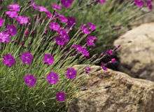 Dianthus on the rocks. Bunches of dianthus flowers growing around large rocks Royalty Free Stock Images