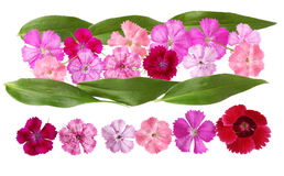 Dianthus Set Stock Images