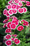 Dianthus, Sweet william. Dianthus or Sweet william Flower Royalty Free Stock Photo
