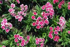 Dianthus, Sweet william. Dianthus or Sweet william Flower Stock Images