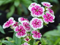 Dianthus, Sweet william Royalty Free Stock Photography