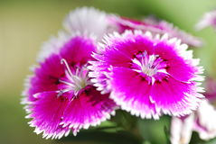 Dianthus temperate flower Stock Photography