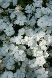 Dianthus-Weiß 2 Lizenzfreie Stockfotos