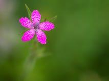 Dianthusarmeria Armeria Στοκ Φωτογραφίες