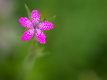Dianthusarmeria Armeria Stock Photos