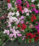 Dianthusblommor Arkivfoton