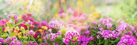 Dianthusblommor på suddig sommar arbeta i trädgården eller parkerar bakgrund, baner Fotografering för Bildbyråer