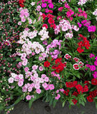 Dianthusblumen stockfotos