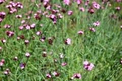 Dianthuscarthusianorum (Carthusian rosa färger) royaltyfria foton