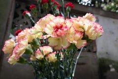Dianthuscaryophyllus-blomma ordning Royaltyfria Foton