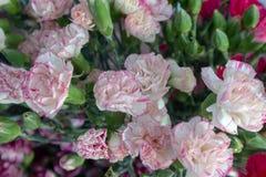 Dianthuscaryophyllus-blomma ordning Royaltyfri Foto