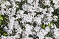 Dianthuscaryophyllusnejlika, vita blommor som blommar i trädgården Arkivbilder