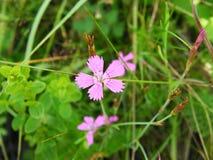 Dianthusfischerirosa färgen blommar på closeupen i skogen Arkivfoto