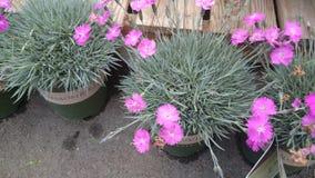 Dianthusgratianapolitanus 'Brandheks' Stock Foto