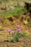 Dianthusnardiformis Arkivbilder