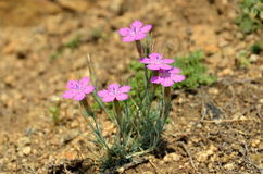 Dianthusnardiformis Royaltyfri Foto
