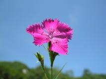 Dianthusseguieri op een blauwe hemelachtergrond Stock Foto's