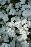 Dianthusvit 2 Royaltyfria Foton