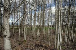 Diaphanous aspen grove. In Marymoor park, Redmond Stock Image