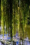 Diaphanous Weeping Willow Branches Hanging Over a Reflective Pond. Wispy draping Weeping Willow Hanging Over a Reflective Pond with Lotus Leaves stock images