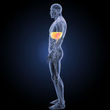 Diaphragm with anatomy lateral view Royalty Free Stock Photo
