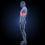 Diaphragm with anatomy lateral view Royalty Free Stock Photography