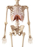 The diaphragm Royalty Free Stock Image