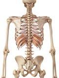 The diaphragm Royalty Free Stock Photo