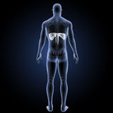 Diaphragme avec la vue postérieure squelettique illustration de vecteur