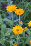 Diapositiva alpina, amarillo de la flor del Gerbera Foto de archivo libre de regalías