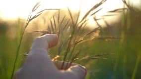 Diapositiva femenina de la mano a través del campo en luz de oro de la puesta del sol en a cámara lenta metrajes